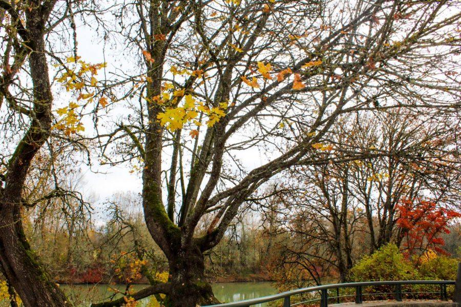 Corvallis Tree