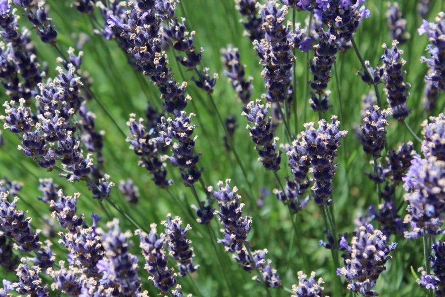 Lavender- J. Zeigler